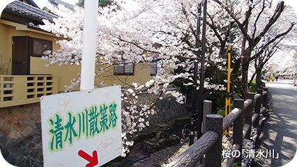 桜の「清水川(しゅうずがわ)」