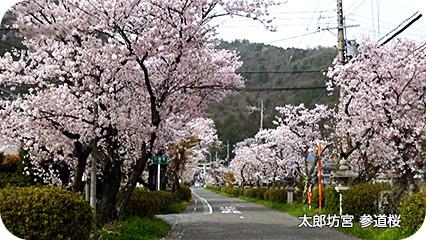 太郎坊宮 参道桜